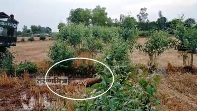 Forest Workers Killed Hungry Tiger During Tranquilizing in Pilibhit